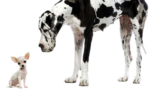big dog small dog Dalmatian and Chihuahua